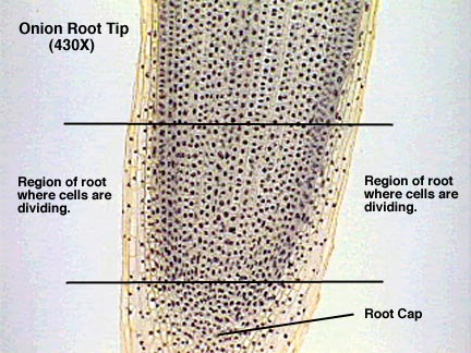 Root Tip