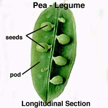 dry dehiscent fruit pod brake control wiring diagram legume pod diagram