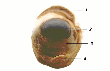 Sheep Eye Anatomy Test